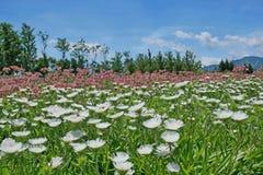 Jardín de flores del alstroemeria y del stokesia Imagenes de archivo