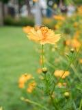 Jardín de flores del cosmos, foco y retro suaves Fotografía de archivo libre de regalías