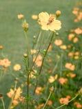 Jardín de flores del cosmos, foco y retro suaves Imágenes de archivo libres de regalías