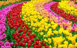 Jardín de flores del tulipán en fondo o modelo de la primavera