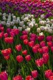 Jardín de flores del tulipán en fondo o modelo de la primavera Fotografía de archivo