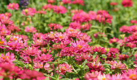 Jardín de flores del Zinnia Imagen de archivo libre de regalías