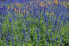 Jardín de flores hermoso de Angustifolia del Lavandula del Lavandula/ Foto de archivo libre de regalías