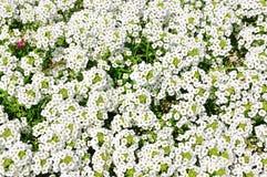 Jardín de flores blanco Fotos de archivo libres de regalías