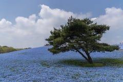 Jardín de flores de Nemophila en el parque de playa de Hitashi, ibaraki, Japón imágenes de archivo libres de regalías