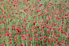 Jardín de flores rojo Fotografía de archivo libre de regalías
