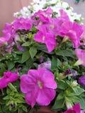 Jardín de flores rosadas Imagenes de archivo