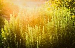 Jardín de hierbas de la planta de Rosemary en fondo soleado de la naturaleza Imágenes de archivo libres de regalías