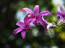 Jardín de Krachao de la explosión de la orquídea tailandés bangkok Imagen de archivo