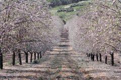 Jardín de la almendra en primavera fotografía de archivo libre de regalías