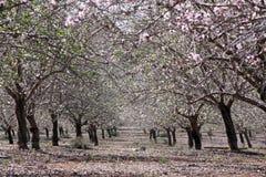 Jardín de la almendra en primavera foto de archivo libre de regalías