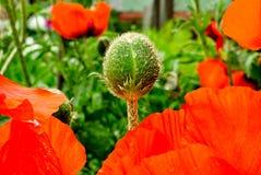 Jardín de la amapola del brote Fotografía de archivo libre de regalías