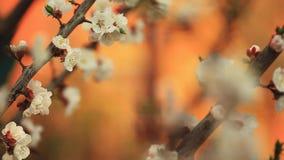 Jardín de la cantidad del hd de la abeja de la floración de la flor del albaricoquero almacen de metraje de vídeo