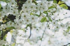 Jardín de la cereza Fondo del flor de la primavera - frontera floral abstracta de las hojas del verde y de las flores blancas imágenes de archivo libres de regalías