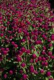 Jardín de la cresta de gallo Foto de archivo