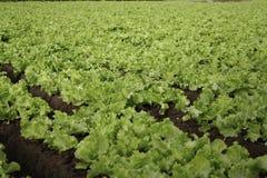 Jardín de la ensalada Foto de archivo