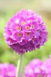 Jardín de la floración de la flor Fotografía de archivo libre de regalías