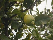 Jardín de la fruta de la isla de Madeira Imagen de archivo