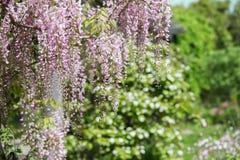 Jardín de la glicinia fotografía de archivo