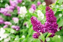 Jardín de la lila Foto de archivo