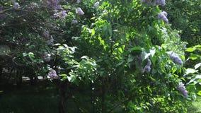 Jardín de la lila en Moscú almacen de video