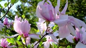 Jardín de la magnolia en flor lleno de la estación de primavera almacen de video