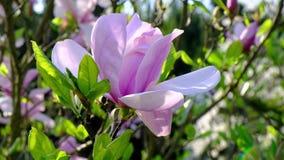 Jardín de la magnolia en flor lleno de la estación de primavera almacen de metraje de vídeo