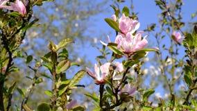 Jardín de la magnolia en flor lleno de la estación de primavera metrajes
