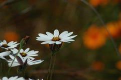 Jardín de la margarita Fotografía de archivo