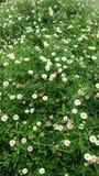 Jardín de la margarita blanca Imagenes de archivo