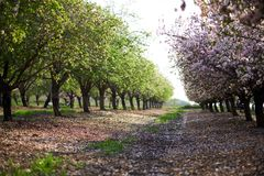Jardín de la primavera de las almendras florecientes Latrun, Israel Fotografía de archivo