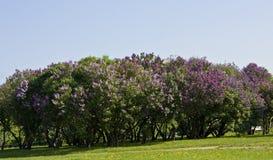 Jardín de Lilas Foto de archivo libre de regalías