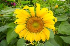Jardín de los girasoles Los girasoles tienen subsidios por enfermedad abundantes Foto de archivo libre de regalías
