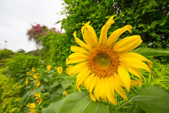 Jardín de los girasoles Los girasoles tienen subsidios por enfermedad abundantes Imagen de archivo libre de regalías