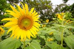 Jardín de los girasoles Los girasoles tienen subsidios por enfermedad abundantes Imágenes de archivo libres de regalías