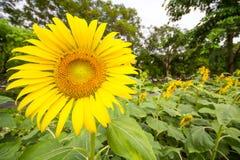 Jardín de los girasoles Los girasoles tienen subsidios por enfermedad abundantes Foto de archivo