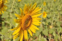 Jardín de los girasoles Los girasoles tienen subsidios por enfermedad abundantes El aceite de girasol mejora salud de la piel y p Fotografía de archivo libre de regalías