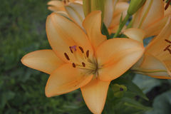 Jardín de los lirios Foto de archivo libre de regalías
