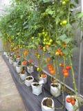 Jardín de los tomates Imagenes de archivo