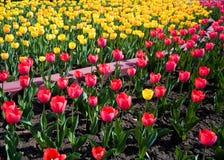 Jardín de los tulipanes Fotografía de archivo libre de regalías