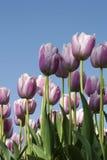Jardín de los tulipanes Fotos de archivo