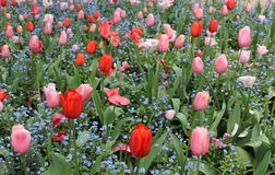 Jardín de los tulipanes Fotos de archivo libres de regalías