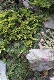 Jardín de roca con el enebro y los sedums Foto de archivo libre de regalías