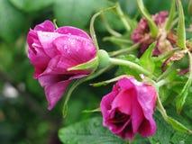 Jardín de rosas Foto de archivo libre de regalías