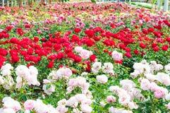 Jardín de rosas Fotografía de archivo