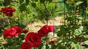 Jardín de rosas rojas Imagen de archivo