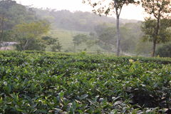 Jardín de té de Fatickchri Odulia, Najirhat, Chittagong, Bangladesh foto de archivo