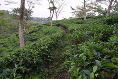 Jardín de té de Fatickchri Odulia, Najirhat, Chittagong, Bangladesh Imagenes de archivo