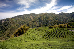 Jardín de té de Gua del Ba en Taiwán Fotografía de archivo
