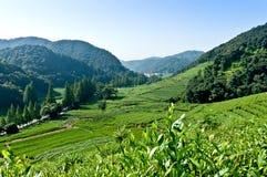 Jardín de té de Hangzhou Foto de archivo libre de regalías
